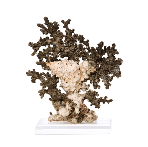 Black Octopus Coral on Lucite Base Black_Octopus_Coral_on_Lucite_Base._South_Pacific_.jpg