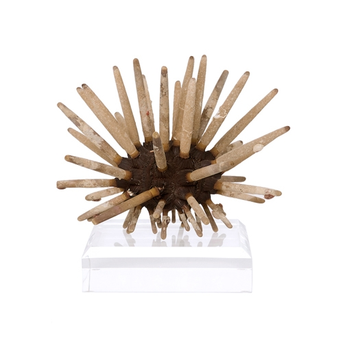 Club Urchin on Lucite Base Club_Urchin_on_Lucite_Base._South_Pacific_.jpg