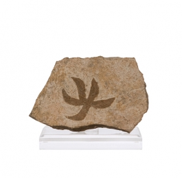 Starfish Fossil on Lucite Easel
